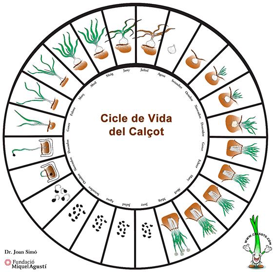 Cicle calçots Fundació Miquel Agustí