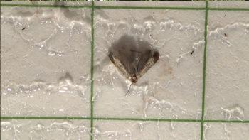 trampes mosca olivera